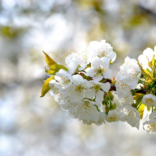 農家のさくらんぼ栽培記録 さくらんぼの花が満開!