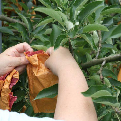青森りんご「はるか」に袋をかける季節がやってまいりました。