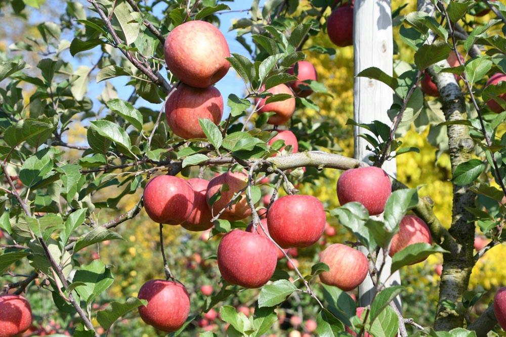 【りんご収穫祭り2018】今年もやります!丸末農業のりんご祭りのご案内