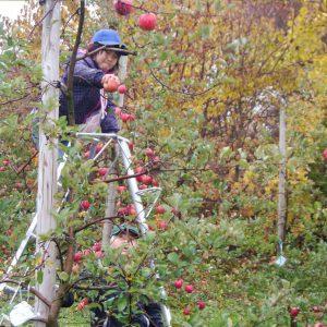 りんご祭り風景1