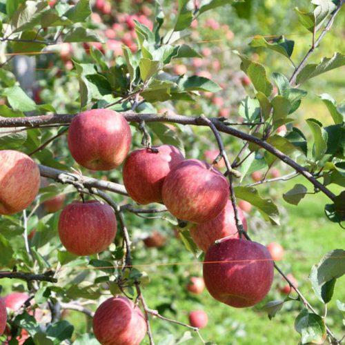 【りんご収穫祭り2017】丸末農業のりんご祭りの季節がやって来ました!