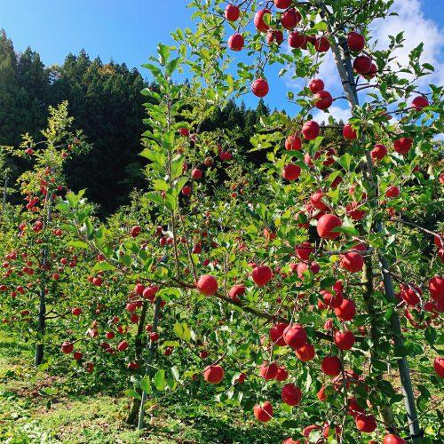 【丸末りんご祭り2019】毎年恒例りんご祭りは11月10日開催!