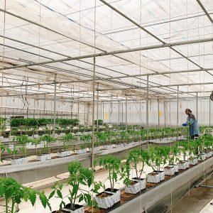 トマト定植作業
